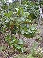 Starr 020501-0053 Cinchona pubescens.jpg