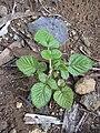 Starr 031114-0013 Rubus niveus f. a.jpg