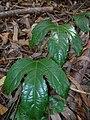 Starr 041113-0686 Passiflora edulis.jpg
