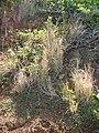 Starr 050419-6481 Heteropogon contortus.jpg