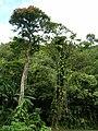 Starr 060306-6613 Epipremnum pinnatum.jpg