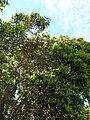Starr 060503-8053 Lophostemon confertus.jpg