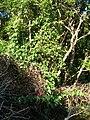 Starr 060905-8715 Passiflora vitifolia.jpg