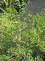 Starr 061108-9770 Psydrax odorata.jpg