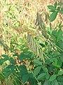 Starr 070206-4169 Crotalaria pallida.jpg