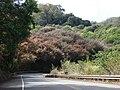 Starr 070306-5109 Syzygium jambos.jpg
