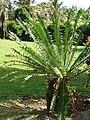 Starr 070306-5119 Encephalartos sp..jpg