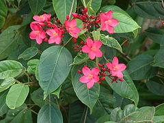 Jatropha integerrima (flowers and leaves)
