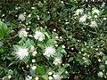 Starr 070621-7463 Myrtus communis.jpg