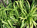 Starr 070906-8460 Agapanthus praecox subsp. orientalis.jpg