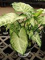 Starr 080117-1518 Syngonium podophyllum.jpg