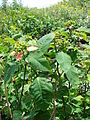 Starr 080608-7612 Euphorbia cyathophora.jpg