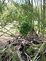Starr 080609-9465 Ficus microcarpa.jpg
