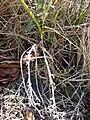 Starr 090213-2473 Unknown cyperaceae.jpg