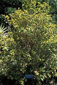 Starr 980529-4168 Graptophyllum pictum