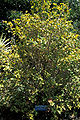 Starr 980529-4168 Graptophyllum pictum.jpg