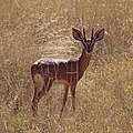 Steenbok (Raphicerus campestris) male.jpg
