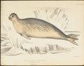 Stenorhynchus rossii - 1700-1880 - Print - Iconographia Zoologica - Special Collections University of Amsterdam - UBA01 IZ21100181.tif