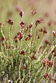 Stoebe fusca (Asteraceae) (4581442349).jpg