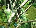 Streaked Flycatcher Myiodynastes maculatus (43382938951).jpg