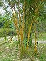 Stripe Bamboo.JPG