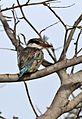 Striped kingfisher, Halcyon chelicuti, Chobe National Park, Botswana (31579954163).jpg