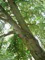 Strom vidlička.jpg