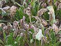 Suikerbiet planten Cercospora beticola.jpg