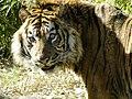 Sumatraanse tijger (4423115090) (2).jpg
