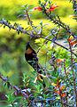 Sunbird (8209000171).jpg