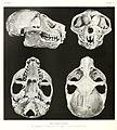Sunda Slow Loris (Nycticebus coucang) skull.jpg