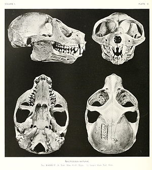 Slow loris - Skull of the Sunda slow loris