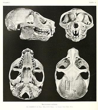 Slow loris - Skull of the Sunda slow loris
