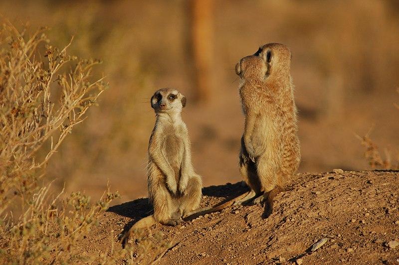File:Suricates, Namibia (3165879983).jpg