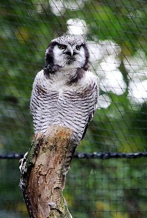 Northern hawk-owl - At Prague Zoo