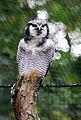 Surnia ulula Zoo Praha 2011-1.jpg