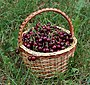Sweet cherries in basket 2018 G1