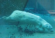 Polar bear diving in a zoo