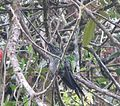 Sword-billed Hummingbird 03.jpg