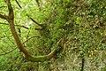 Sycamore tree, Glenoe glen - geograph.org.uk - 173214.jpg