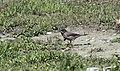 Sylvia cantillans - Subalpine Warbler 2021-03-27 01.jpg