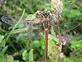 Sympetrum sanguineum female (d1) 2.jpg