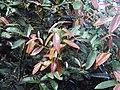 Syzygium mundakam 01.JPG