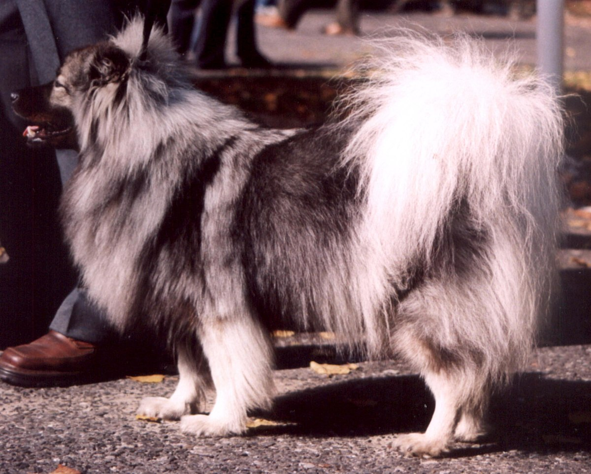 spitz hund � wikipedia