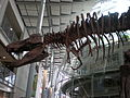 T. rex skeleton CAS 2.JPG