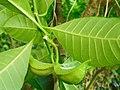 Tabernaemontana citrifolia (Fruit and leaves).jpg