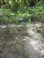 Tabernaemontana corymbosa.jpg