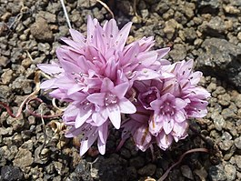 Table Rock Allium Parvum.jpg