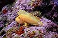 Taenianotus triacanthus in UShaka Sea World 0906.jpg