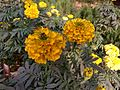 Tagetes patula(yellow) in bd 02.jpg